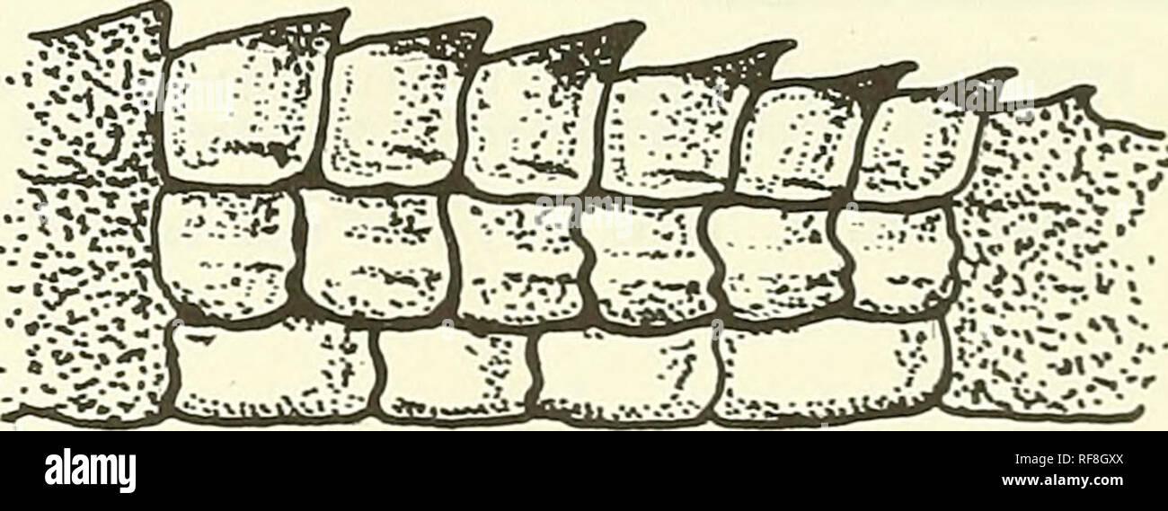 . Catálogo de la neotropical Squamata. Squamata; Reptiles. Clave de especies Dorso no cubierto con escamas finamente granulares 2 Dorso cubierto con escamas finamente granulares racen i s i Tímpano profundamente deprimido dentro del meato auditivo (excepto en el holotipo de tate i); cola fuertemente comprimida en adultos; menos en los menores de 3 no Tímpano deprimido o ligeramente; cola moderadamente com prim me da un cuerpo con varias hileras longitudinales de tubérculos; escamas temporales guilladas, quillas longitudinales y paralelas; zona frontonasal frontal y frecuentemente con escamas regula Foto de stock