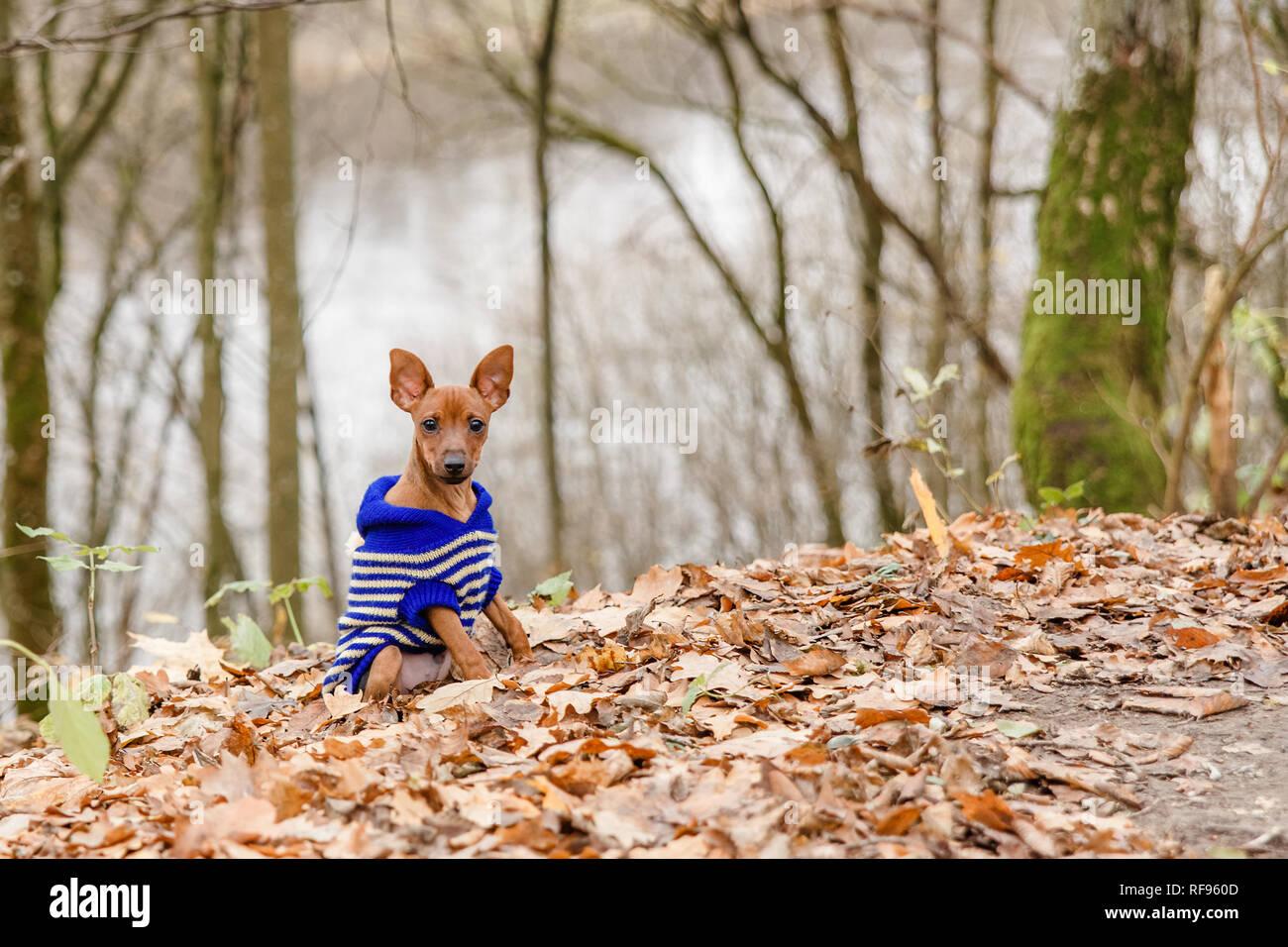 18d0b46d34c1 Gracioso perro terrier, un juguete, un elegante vestido perrita en un  jersey azul,