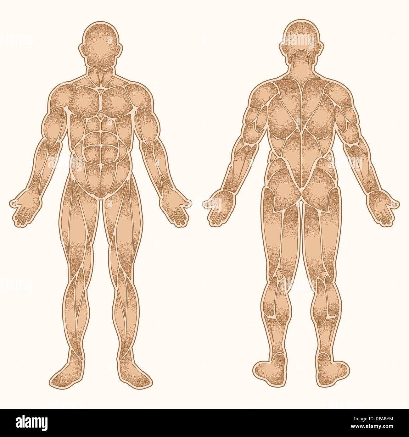 La silueta del cuerpo humano con todos los puntos de sombra músculos aislado en blanco Imagen De Stock
