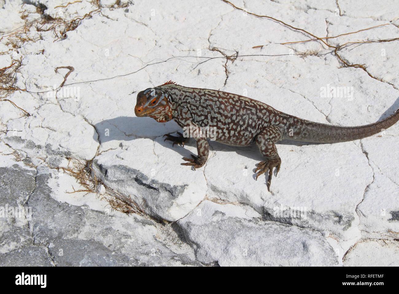 Iguana, Sandy Cay, Exumas, Bahamas. Algunas iguanas terrestres de las Bahamas se encuentran en peligro de extinción. Imagen De Stock