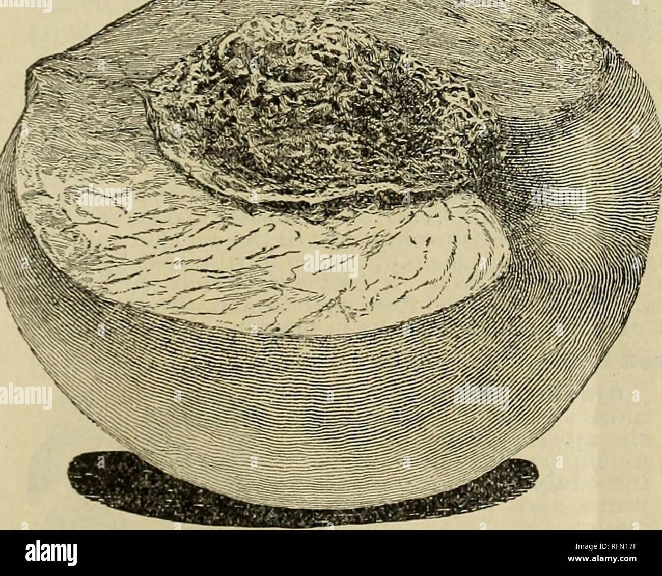 """. Catálogo de verano y otoño : macetas con plantas de fresa, árboles y plantas ornamentales. Viveros en Nueva York (estado) Catálogos de Rochester; catálogos de plántulas de árboles frutales; fruto de los catálogos. Certificado de inspección de cN&rs* """"Aod tActfjAe 6-toc/i cn tAe nu?> itiaA c/uty, ezami?icc£ m com/tttance tuti *3^aui& ofoa?id se t/JaA encontró a 6e a/t/i corUapiouA o c?s/cctioa<i ///a<?zt diaectAc ov (/(un dcvnyevoiifify iwjtwtoui indect fietit o fie&t&. La capital Melocotón.- La más maravillosa en durazno -tamaño y sabor durazno, cada uno con un promedio de diez centímetros de circunferencia, con un peso de 10 onzas. Un Foto de stock"""