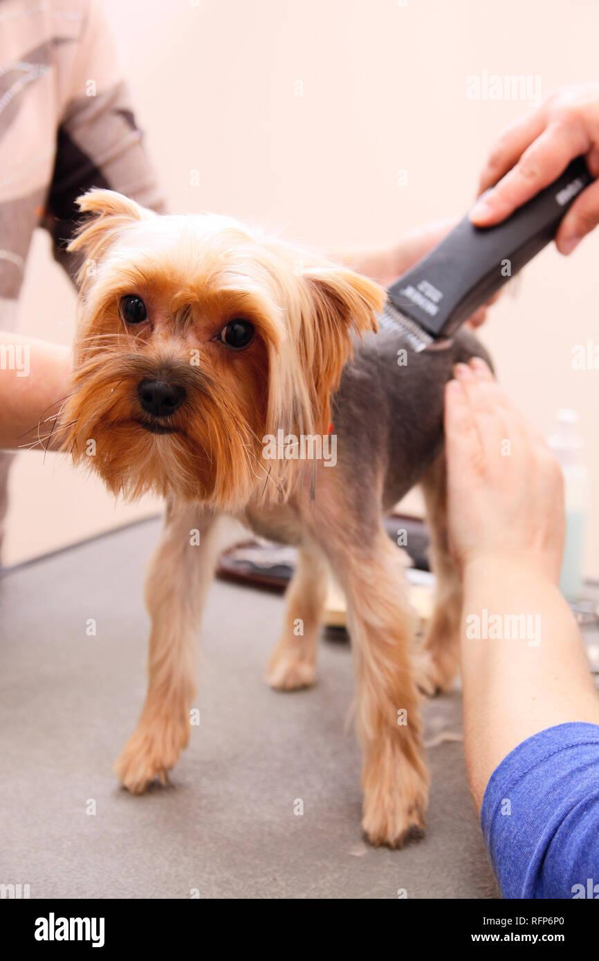 Yorkshire Terrier Obteniendo Su Corte De Pelo De La