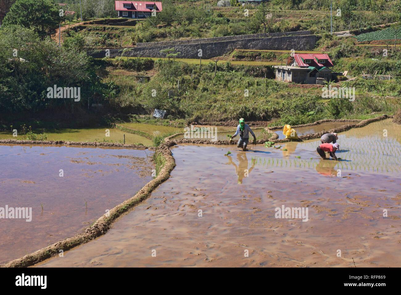 El cultivo de arroz en la aldea Fidelisan Sagada, provincia de Montaña, Filipinas Foto de stock