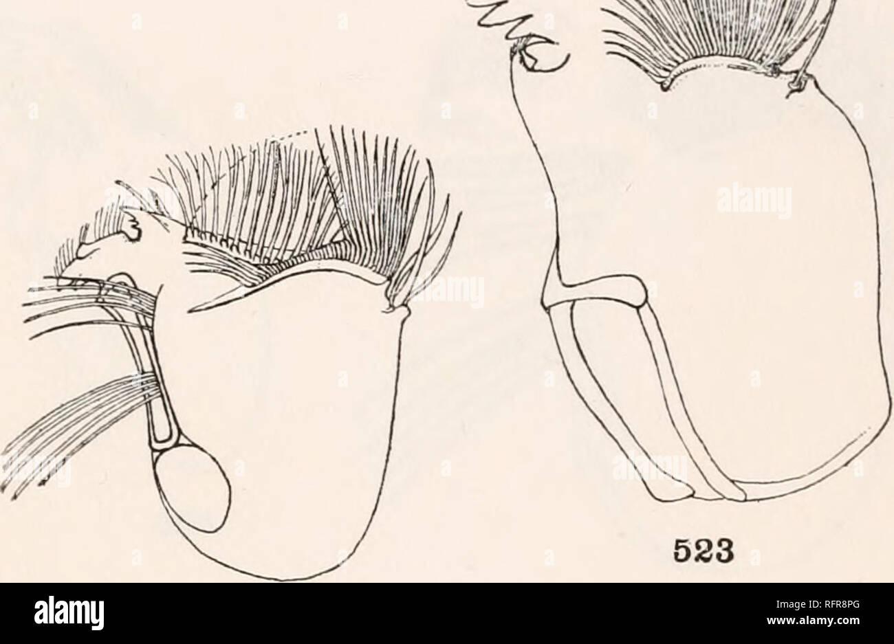 """. Publicación de la Carnegie Institution de Washington. * 522%! """"Me ;;. 526 Las mandíbulas de las larvas. 520. Sabethinus undosus Coquillett. $21. Wyeomyia sororcula Dyar &Amp; Knab. 522. Rapax Lesticocampa Dyar &Amp; Knab. 523. Joblotia digitatus Rondani. 524. Cáncer Deinocerites Theobald. 525. Culex pleuristriatus Theobald. 526. Culex rejector Dyar &Amp; Knab. 527. Culex corniger Theobald. 528. Culex divisor Dyar &Amp; Knab.. Por favor tenga en cuenta que estas imágenes son extraídas de la página escaneada imágenes que podrían haber sido mejoradas digitalmente para mejorar la legibilidad, la coloración y el aspecto de estas ilustraciones pueden no pe Imagen De Stock"""