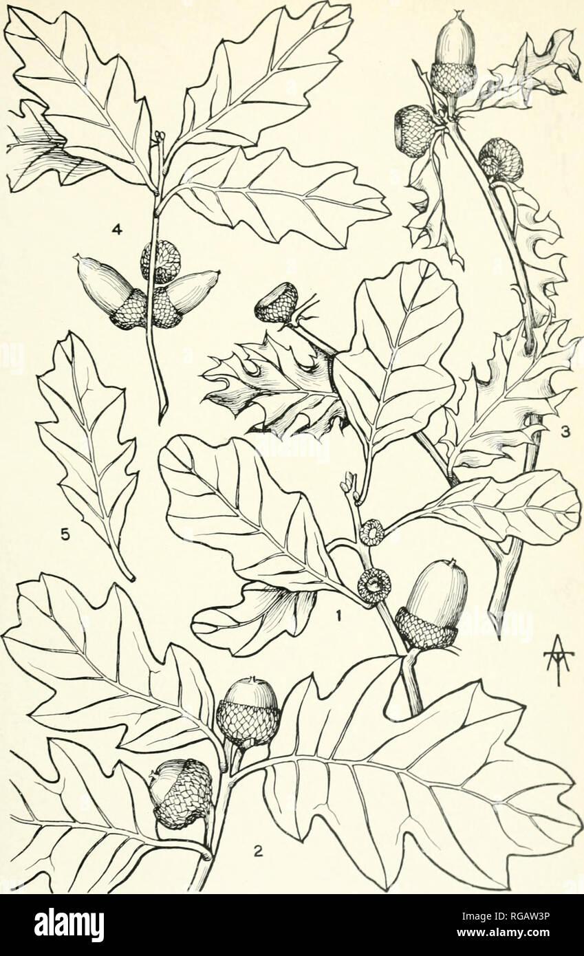 . Boletín del Jardín Botánico de Nueva York. Jardín Botánico de Nueva York; Plantas. Bol. N. Y. Bot. Gaud. ..I . II. Pi .. Fig. Fig. i. QUERCUS BREVILOBA TORF SARGENT. I [G. 2. Ql PAl ERCUS CILOBA RYDB l [G. 3. QUERCUS i'i s-'-i NS LIEBM. Fig. 4. QUERC1 S 1 ND1 I. VTA TORR QUER( I S UNDULATA VASEYANA BU( KL RYDB. Por favor tenga en cuenta que estas imágenes son extraídas de la página escaneada imágenes que podrían haber sido mejoradas digitalmente para mejorar la legibilidad, la coloración y el aspecto de estas ilustraciones pueden no parecerse perfectamente a la obra original. Jardín Botánico de Nueva York. Nueva York : El Jardín por Foto de stock