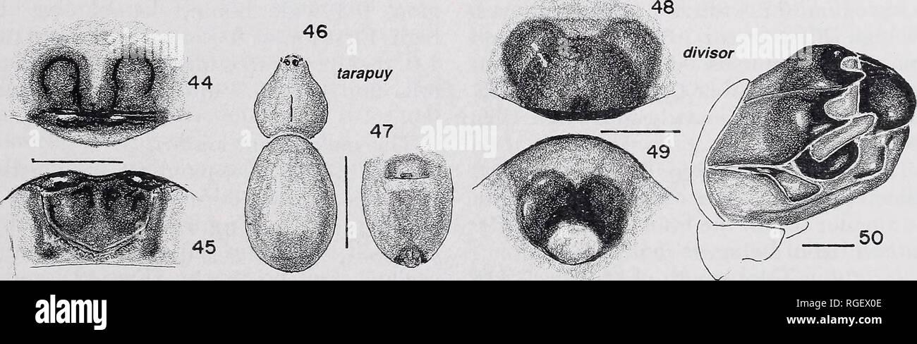 . Boletín del Museo de Zoología Comparativa de Harvard College. Zoología; Zoología. Las figuras 42, 43. M. acoripa nuevas especies, femenina epigynum. 42, ventral; 43, posterior. Las figuras 44-47. M. tarapuy nuevas especies, hembra. 44, 45, epigynum. 44, ventral; 45, posterior. 46, caparazón, abdomen. 47, abdomen ventral. Las figuras 48-50. M. divisor de nuevas especies. 48, 49, hembra, epigynum. 48, ventral; 49, posterior. 50, macho palpos, mesal. Líneas de escala: 1,0 mm; genitales, 0,1 mm.. Por favor tenga en cuenta que estas imágenes son extraídas de la página escaneada imágenes que podrían haber sido mejoradas digitalmente para la legibilidad - colorat Imagen De Stock