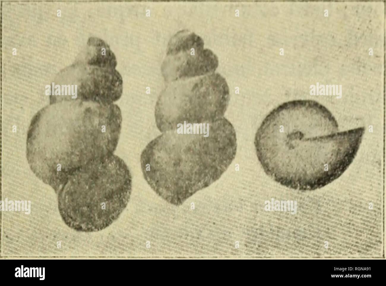 """. Bulletin du MuseÌum d'histoire naturelle. Historia natural. m) â plus (''lroil('- ;i ])liis spire Le Ihjlliiiicllu Padiraci pÂ""""'ul (^(rr iiij) iimli})(ii /icjjlcr ( ; l'en un is jnal(^ uolamincnl, les tlaiis (Ic'parlcninnls (!(Â"""" ; par : IkuiIo avec nii iour de plus; par sa croissanco más r(3[j'u- lièrf, ])lus j)r0jOT0ssive ; pai' sou dernier Iour proj)orlion- nellement moins haul, etc. Il un plus d'analogie avec le Bythi- nclla gracilis^^ que Ton Irouve dans plusieurs fontaines de rAveyron; mais il s'en sépare : par hijo galbe moiiis étroit, moins haut; par ses tours de chapitel [)lus Foto de stock"""