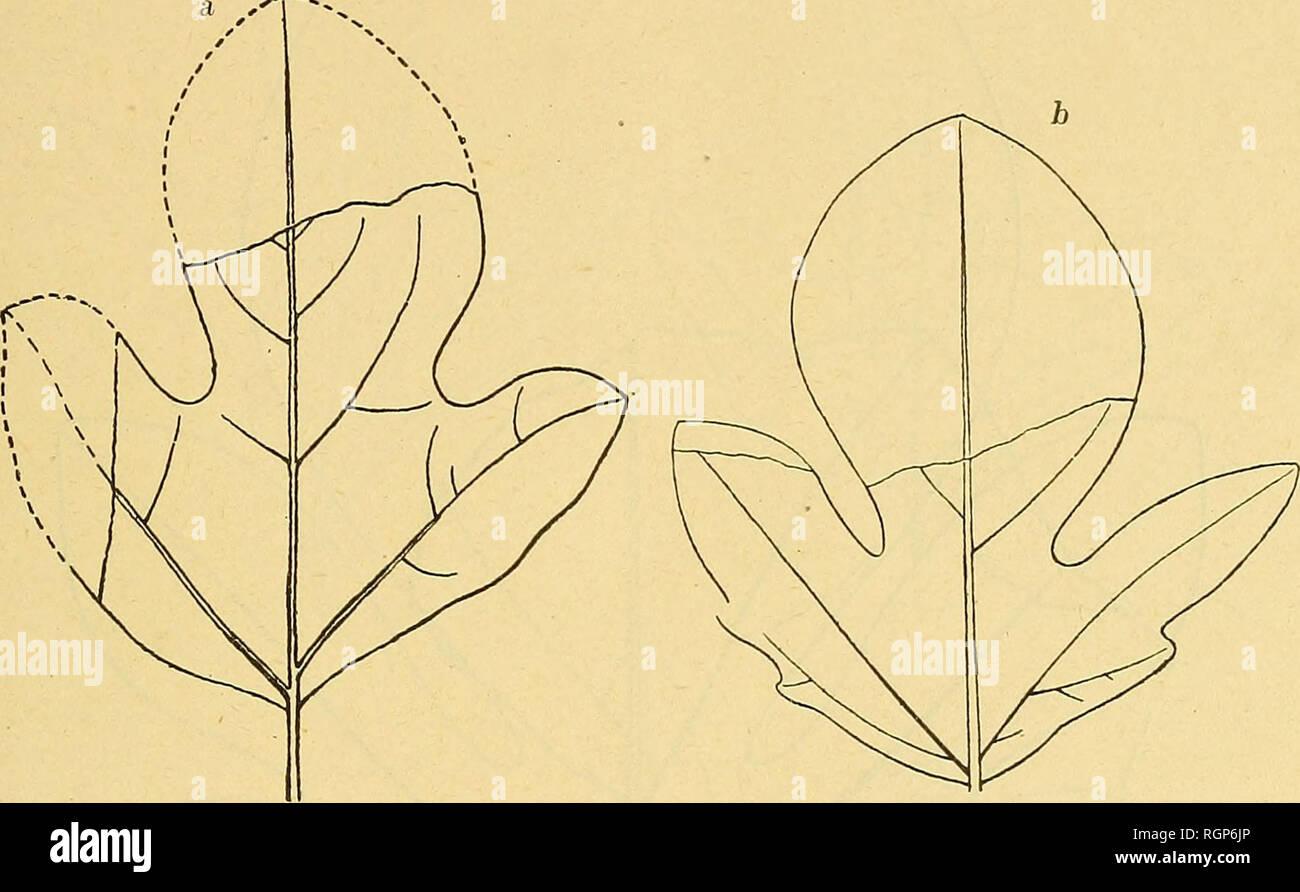 . Boletín de la Société géologique de France. Geología. ARALIAS CRÃTACIQUES DE L AMÃRIQUE DU NORD 9 quer ^ en rencontre, en outre, dans ce même gisement, des feuilles ou bi trilobés (fîg-. 5 i)), à nervation peu distincte, sauf les ner- vures primaires Heer, que rapporte au sasafrás reciirvata de Lesquereux et qu'il fîg-ura dans la Flora fossilis arctica, (t. V, pi. XXXIX, fîg-, 3). O se confondent parfaitement ces feuilles avec celles de VA. Qui les accompagnent Groenlandica typique. La Vu communauté de gisement et l'identité des caractères fournis soit par la nervation, soit par l Foto de stock
