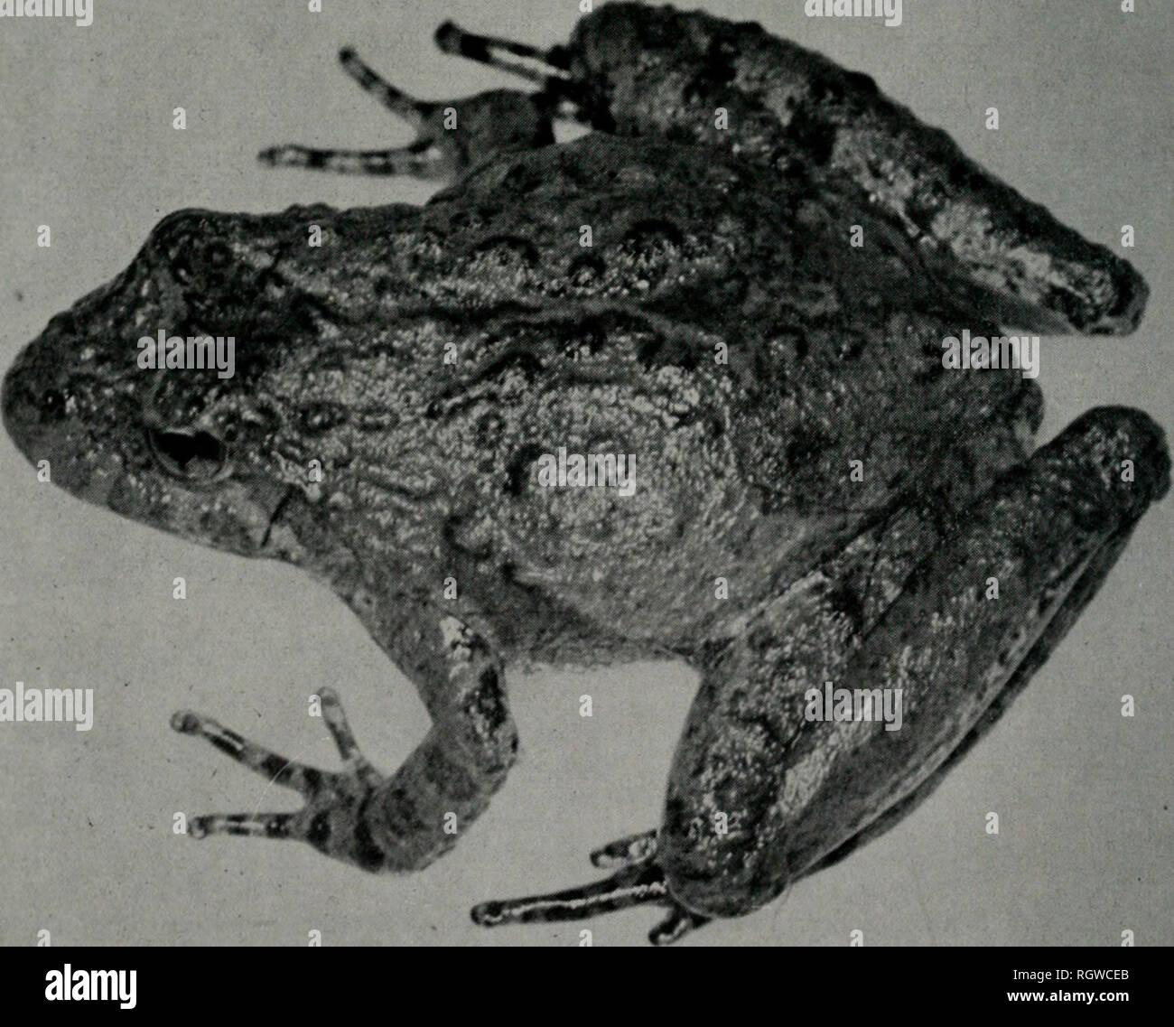 . Boletín. Historia natural; historia natural. Ii 78.i.iNois Natural History Survey Bulletin Vol. 28, Art. tial acuerdo c on los de la recientemente de mencionar hlanchardi (Harper, 1947). Por consi- guiente, la Illinois ranas están provisionalmente como- firmaron a blanchardi, aunque esta subespecie es dudoso distinto de A. crepi- tans crepitans. Acris crepitans blanchardi Harper Blanchard's Cricket Frog Acris gryllus blanchardi Harper 1947:39 (localidad tipo: prado cerca Sraallen Cueva de Ozark, Christian County, Missouri). Acris gryllus gryllus nee Le Conte, Yarrow I882a:169. Acris gryllus, S. Foto de stock