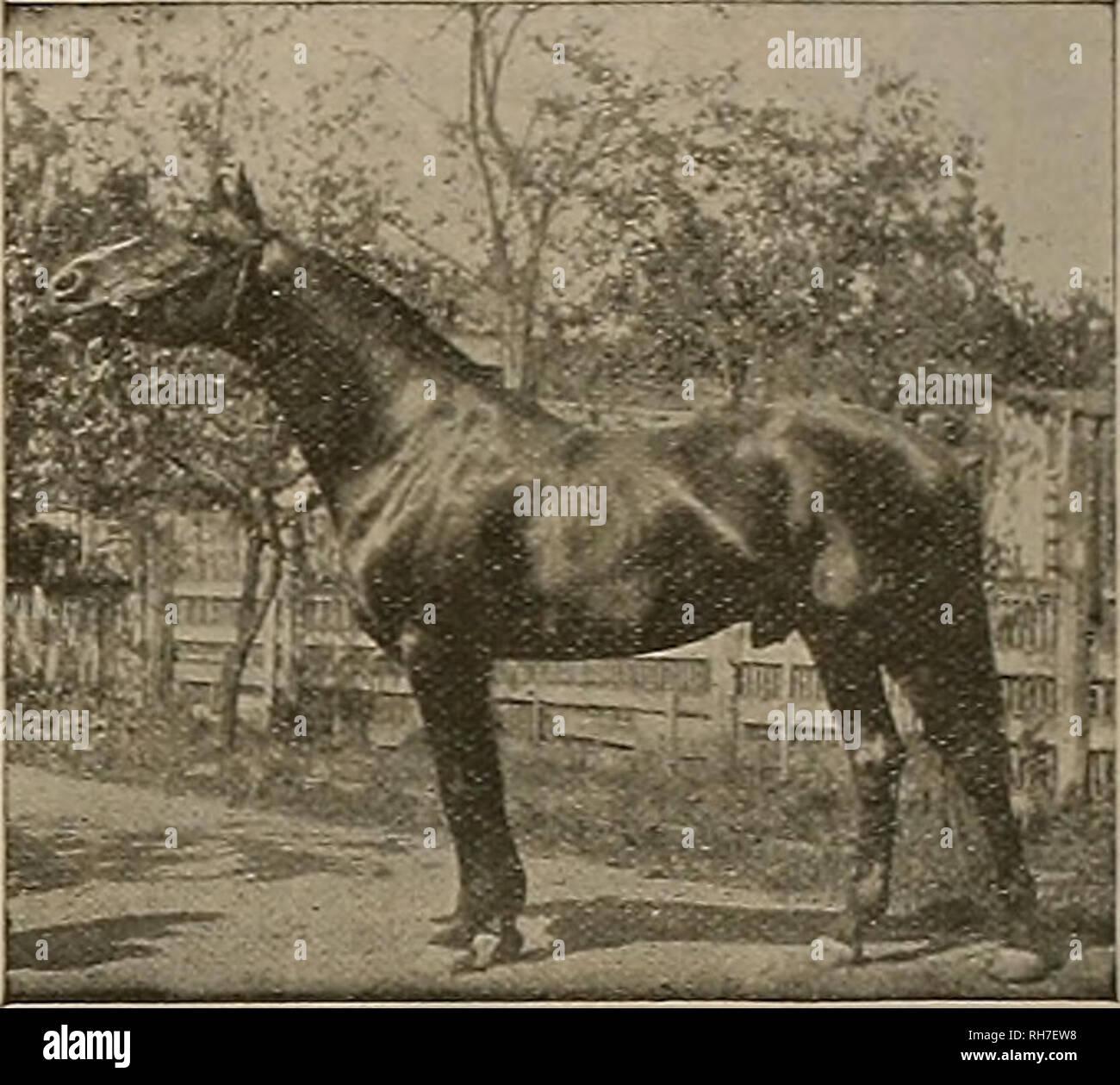 . El obtentor y el deportista. Caballos. eighs 1100 lbs. es una buena persona tiene mejor de pies y piernas, y es absolutamente sólida en todos los sentidos. BONNIE DIRECT le sirven a un número limitado de yeguas aprobados durante la temporada de 1902, en SlOO la temporada, con la celebración de devolución si mare demuestra no con el potro y el caballo está vivo y en mi posesión. El dinero adeudado al momento del servicio o tras la extracción de la mare. Tomar todas las precauciones para evitar accidentes o escapadas, pero ninguna responsabilidad que puedan surgir. Pasto para las yeguas a precios razonables. Dirección C. L. Griffith, PleasantoD, C&l resumen de tres de Bonnie Direot'Raza B Foto de stock