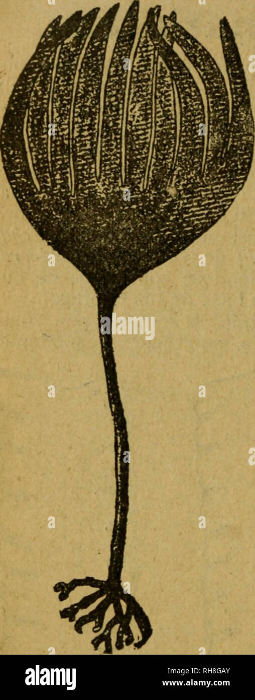 . Botánica Descriptiva. Compendio de la flora española. Estudio de las plantas que viven espontáneamente en España y de las más frecuentemente cultivadas que tienen aplicaciones en medicina, agricultura, industria y horticultura. Las plantas. 314 amarillento, enterobacterias; aovado en su base, oblongo o lineal y extendido, de 3'-9' de longitud y i5''-25'' de anchura en su base, plano con el borde apenas ondulado y con el ápice desgarrado; z;í2r. bullata {Laminaria cris/afa Kiitz.) con el limbo más grande sumamente ondeado y plegado en las dos porcio- nes la terales, y plano en la zona media y en ésta aeroc Imagen De Stock