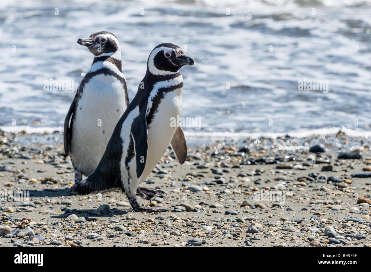 Los pingüinos Magallánicos en el Seno Otway, cerca de Punta Arenas Imagen De Stock