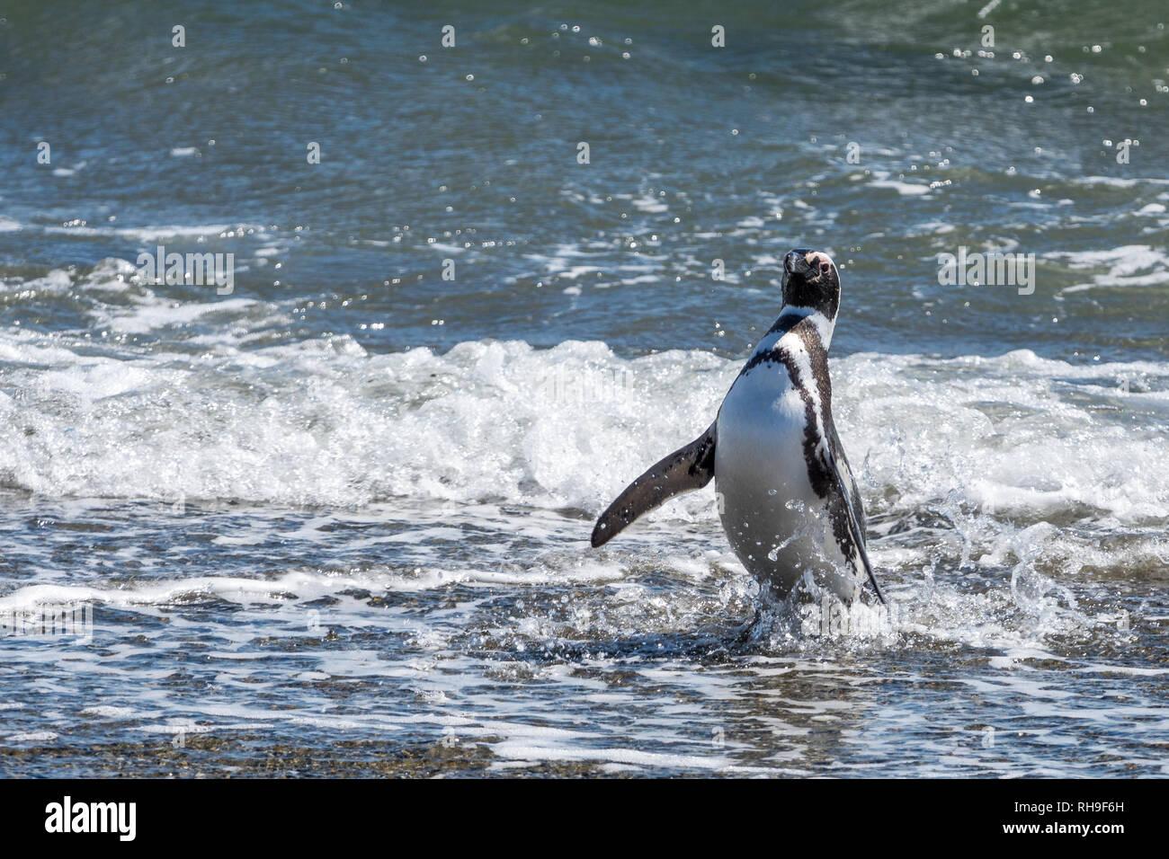 Pingüinos Magallánicos en el Seno Otway, cerca de Punta Arenas Imagen De Stock