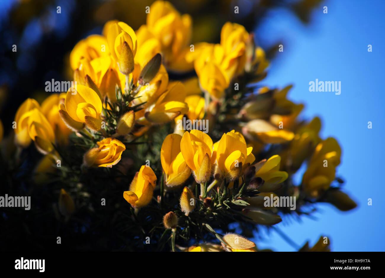 Flores Amarillas Perfumadas Fotos e Imágenes de stock Alamy