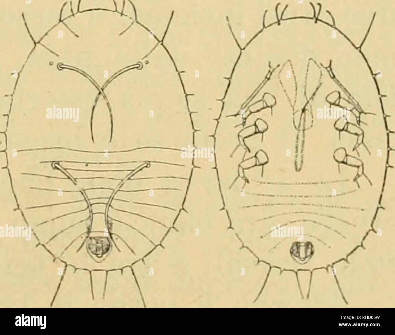 . Bollettino del Laboratorio di Zoologia generale e agraria della R. Scuola superiore d'agricoltura de Portici. Zoología; zoología, entomología económica;. Fig. IV. Ovo (molto Ingrandito). tutta reticolata. È lungo mm. 0,117-123 0,247-253 e largo. Larva I. Cil-^. La larva neonata è di colore fumoso, sprovvista di cera ed è lunga mm. 0,234 0,325 e larga; antenne zampe lunghe 0,074, con 0,061. Il suo corpo (Fig. V) è molto depresso, un contorno cuasi ellittico leggermente più stretto innanzi essendo che dietro Dorso con quattro lunghe setole sublaterali, delle cuali debido situar sulla parte posteriore Foto de stock