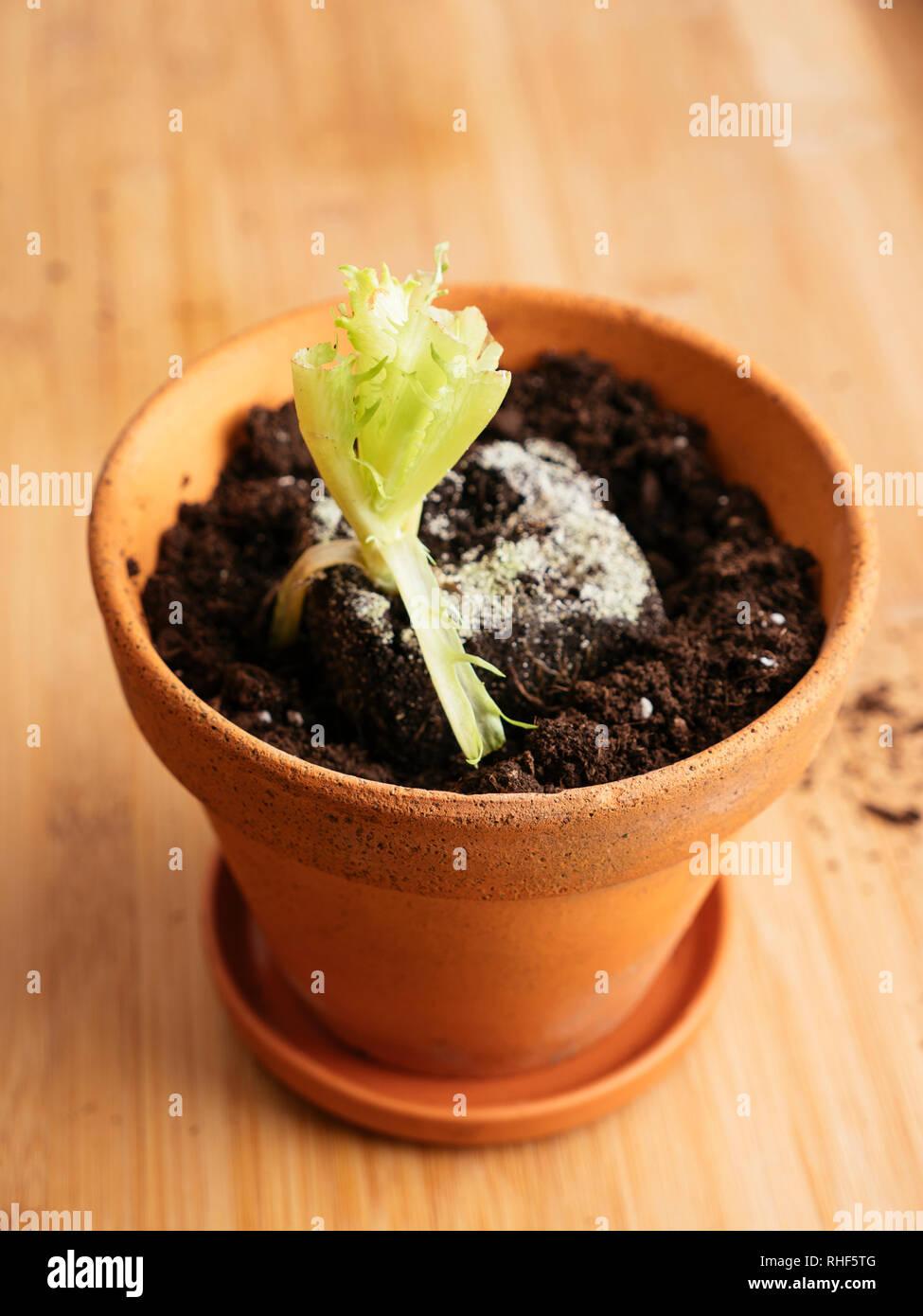 Trozos de lechuga con raíces replantados en una olla para producir una nueva lechuga. Foto de stock