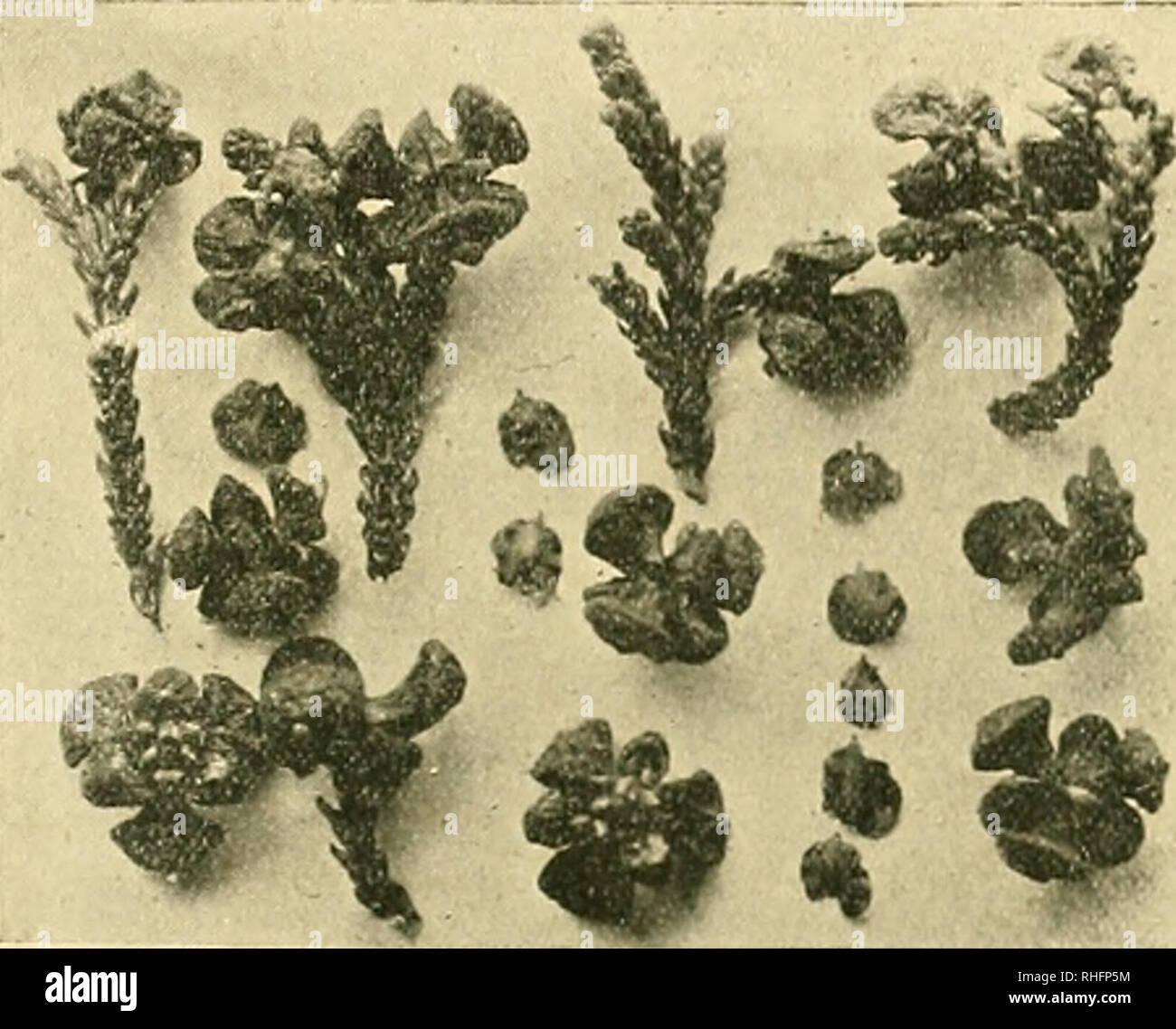 . Boletín del Museo Nacional de Chile. Historia natural. M. R. Espinosa B.-alerzales di piuchué 63 por las semillas. Los observé los frutos en abundancia sobre la planta en enero, yo probablemente la floración debe tener lugar en Agosto o Se tiembre. Las semillas son acorazonadas, bialadas, color canela; el vértice pro- longado en una pequeña punta de estremo circular; miden de ala a ala 45 mm., i de largo de 4 mm. Hai gluten i aceite en sus células. El cuerpo de la. FlG. 41.-Frutos i semillas de Monte^roya patagonica.Y, la semilla es de forma de maza, ONU poco comprimida. Hai 9 semillas en cada fruto. Foto de stock