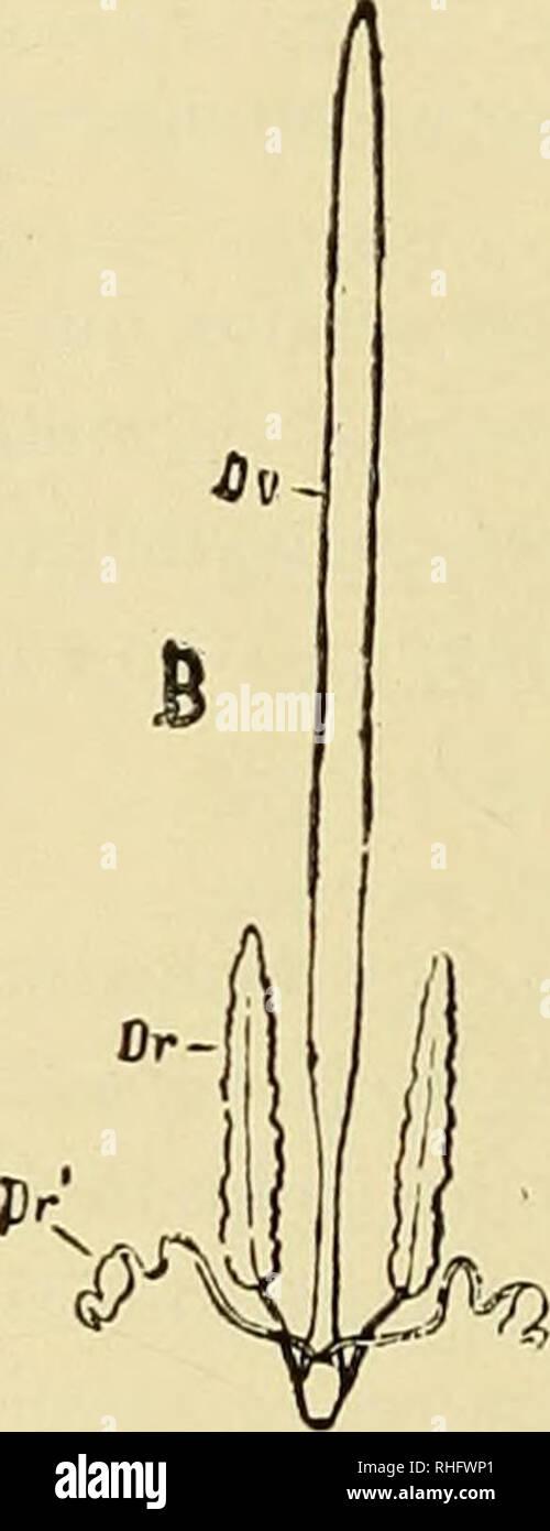 . Boletín del Museo Nacional de Chile. Historia natural. En los Diplópodos, los machos Fifí. 5.-órganos masculinos jenitai.es(A) I FEMENINOS (B) de la Scotopendra complana Cuerpo ta: T, testículo; Ov, ovario; Vd, canal defe rente; Sb, vesícula seminal; Dr, Dr glándu las accesorias. poseen un órgano copulador, pedes copulativi doble (6), situado a alguna distancia de los orificios jenitales (en la cara ventral del sétimo segmento). Estos órganos se llenan de es- perma antes de la cópula, sirviendo así de receptáculos seminales. (6) Estos órganos hijo hoi mui tomados en cuenta en las descripcione Foto de stock