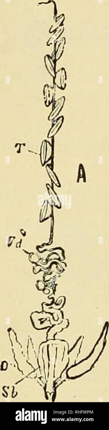 . Boletín del Museo Nacional de Chile. Historia natural. G) aparato reproductor.-Los Miriópodos tienen sexos separa- dos, siendo las hembras casi siem- pre de mayor tamaño que los ma- chos. Ambos sexos en los órganos de la jeneracion hijo comunmente cuerpos tubulosos, alargados e im- pares i están acompañados en las hembras, por lo jeneral, de recep- táculos seminales i, en los machos de los OUI/ópodos, de glándulas accesorias. Los orificios je ni cuentos, en nú- mero de dos en los Dip/ópodos, están situados sobre las ancas del segundo par de patas o bien entre éstos i el tercer párrafo en los Ouiló- Foto de stock