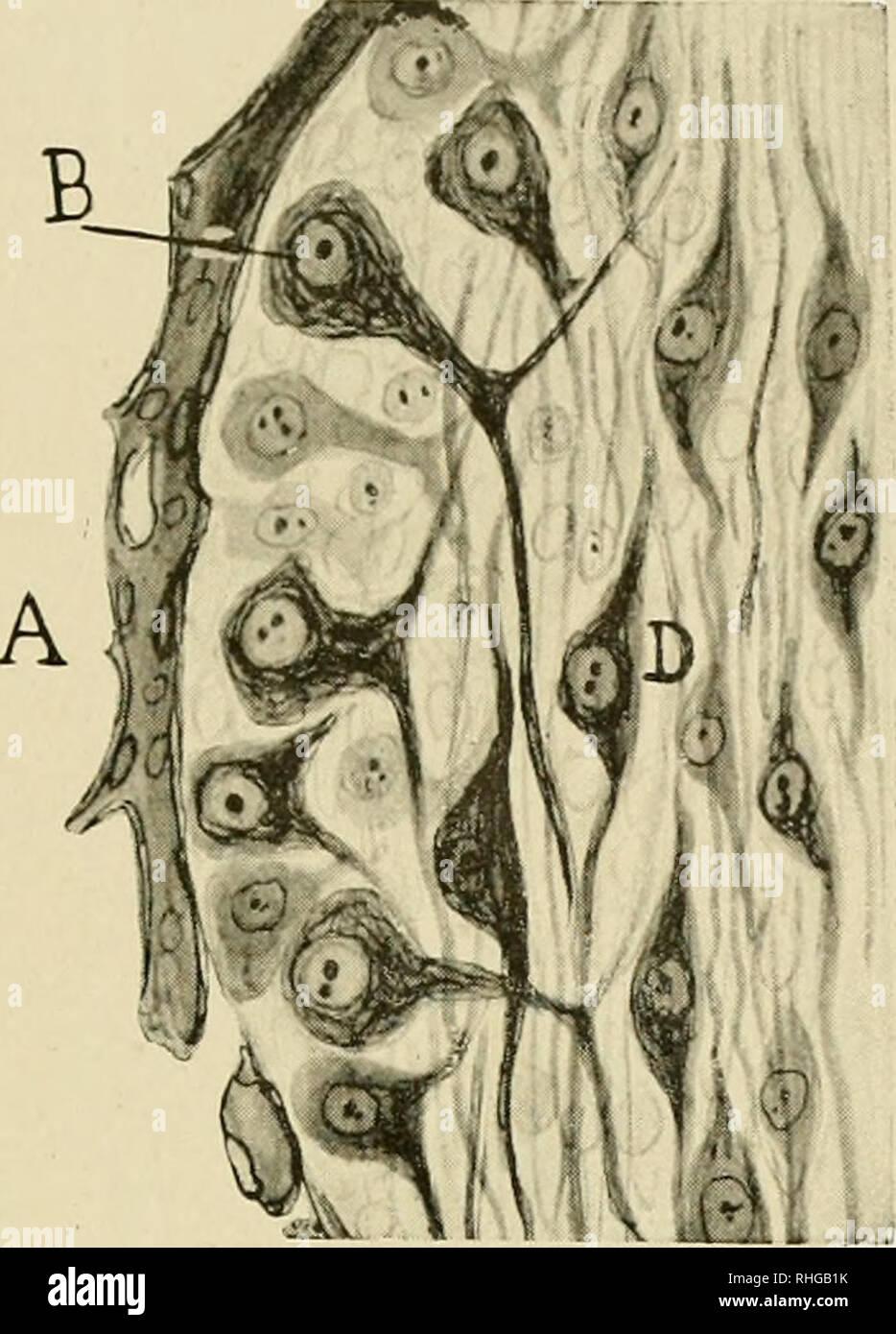 . Boletín de la Sociedad Española de Biología. La biología. S. R. Cajal: probable Significación de la morfología de las neuronas de los invertebrados. Fig. 8.-Sección de la corteza de un ganglio raquídeo del embrión de pollo á los trece días de incubación. Paso de la forma à la bipolar monopolar. - Un vaso sanguíneo, perigangliónico ; B, célula sensitiva mono- ; D, corpúsculos polares centrales bipolares ó retar- dados en su evolución (figura semiesquemática). e. Por favor tenga en cuenta que estas imágenes son extraídas de la página escaneada imágenes que podrían haber sido mejoradas digitalmente para legibilidad: una coloración Imagen De Stock