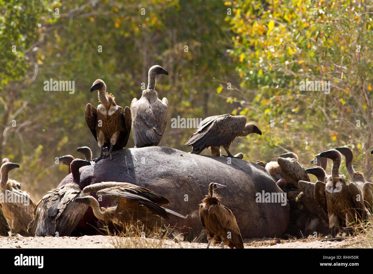 Un hipopótamo que murió a consecuencia de las heridas infligidas por el residente toro es dominante se abrieron rápidamente por hienas y buitres, de modo que la abundancia de comida es quic Foto de stock