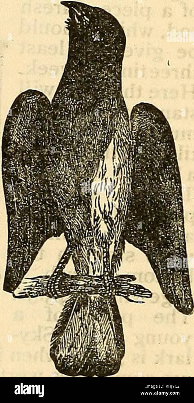 . La empresa de alimentos de aves del libro de los pájaros de jaula:. Los pájaros de jaula. El Baltimore oriole. Esta ave, que también es conocido como el ahorcamiento B'rd Swing Bird y Golden Robin, es de color naranja brillante y reluciente plumaje negro, con unas rayas de color negro sobre el ala. A partir de estos se de- rived su nombre, como lo fueron los colores de Lord Baltimore, el primer propietario de Maryland. La hembra es de un tono sobrio. El canto de esta ave es ruidosa, variada y entretenida; y golpea el oído del oyente más como las notas del Fife mino;LED con la respiración suave de la flauta, que la canción de un feathere Foto de stock