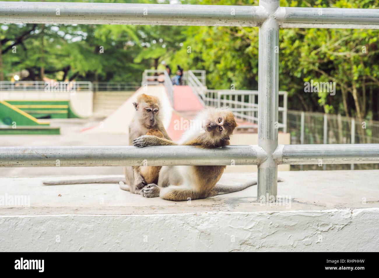 Dos monos sentarse en un campo de deportes y buscar las pulgas entre sí Imagen De Stock