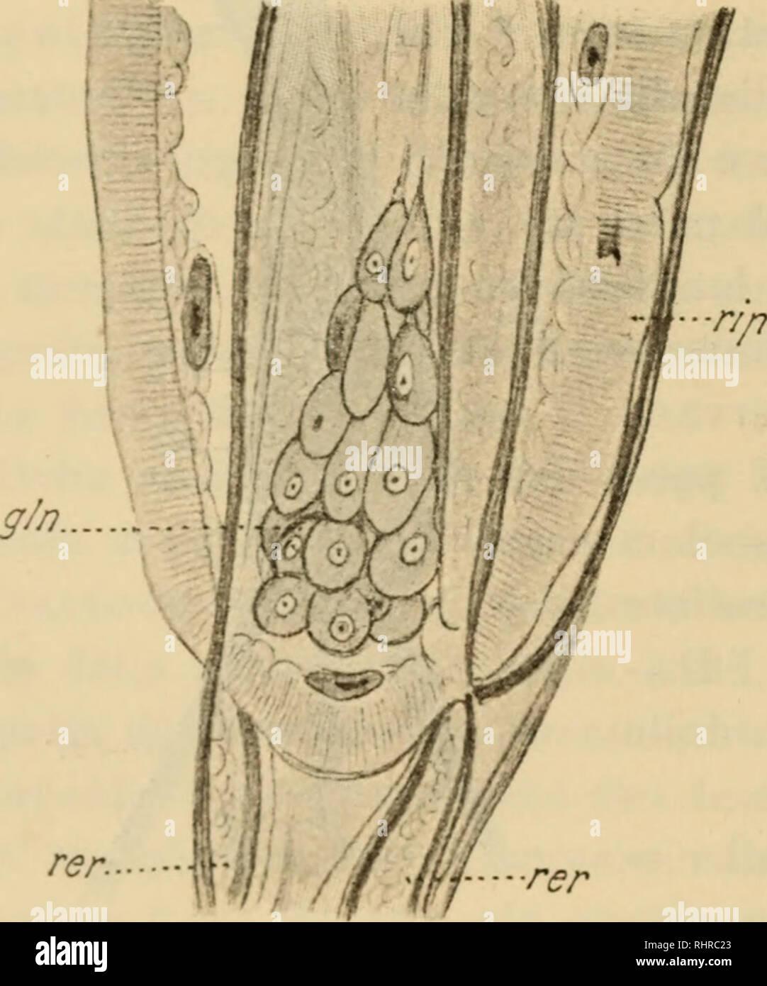 . Biologica. >s VDI. I. N. 19. A. Porta Proboscide (Fig. 5). La proboscide sirven fissare il pa- rassita all'Ospite, ed è formata da onu processo dello estrato cutaneo, cavo e digitiforme; secondo l'Hamann (1) Original dall'entoderma però e perfora la secondariamente cute; è prov- vista di un numero di uncini vario una seconda delle specie, disposti regolarmente e me da già descritti (2). Uncini rivestiti Detti sono di un solo chitinoso astuccio todos' , ed estremità lia ONU ONU prolunga- mento inferiore detto- Radice. Regola di più ventrali me sono forti ed adunchi dei dorsali, ed io credo Foto de stock