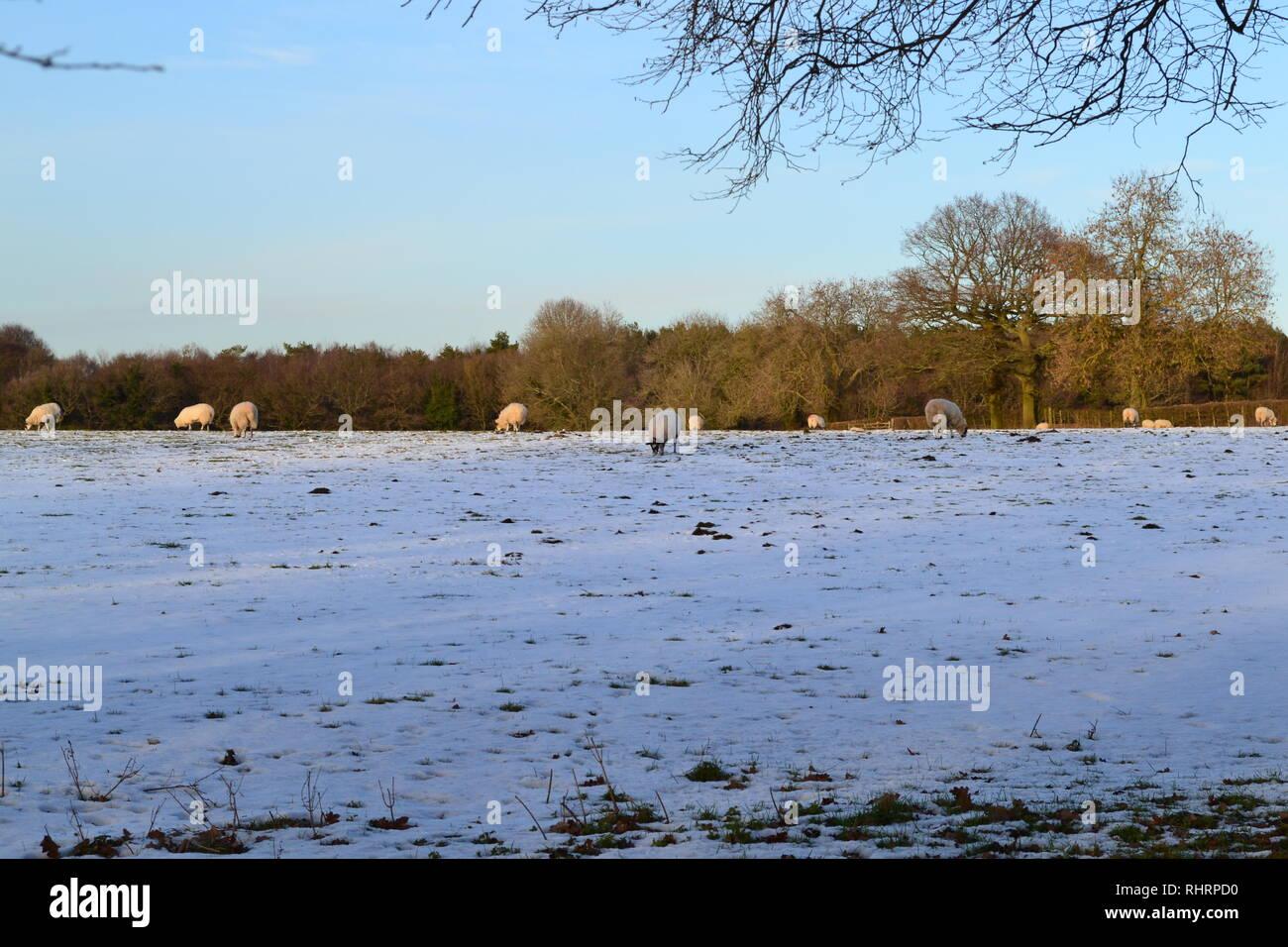Hermoso invierno suave luz cae sobre las ovejas que pastan en los campos alto en las llanuras del norte, en la cumbre de Fackenden abajo, Shoreham, Kent, Inglaterra Foto de stock