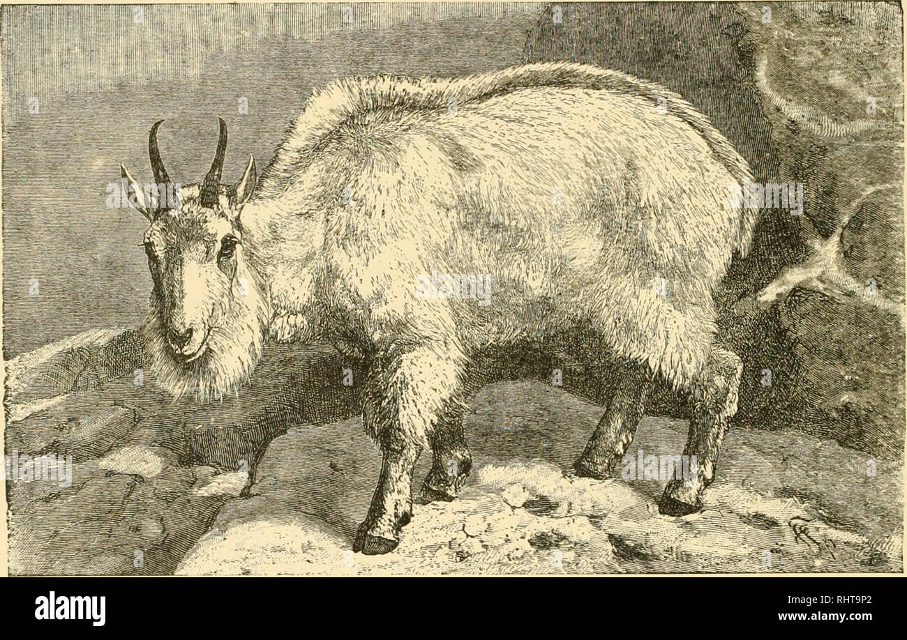 Opinion asian mountain goat join. happens