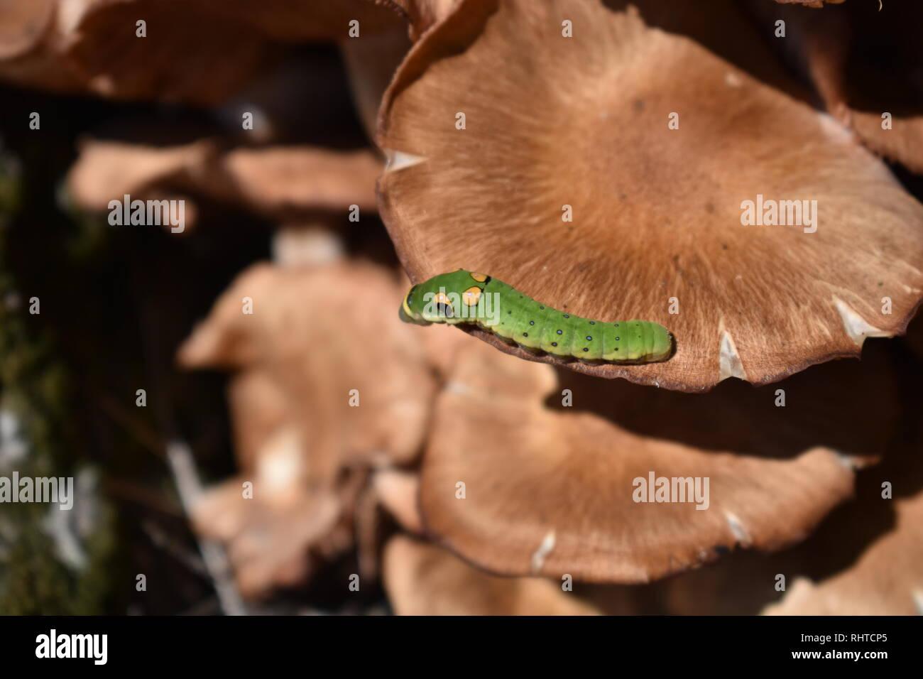 Especie Spicebush caterpillar (Papilio Troilo) el hongo Foto de stock
