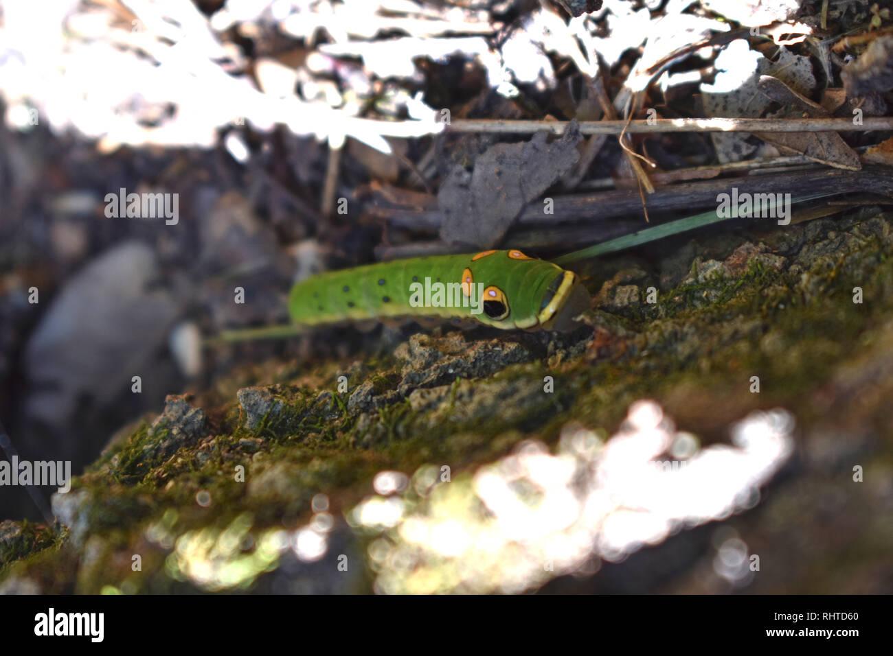 Especie Spicebush caterpillar (Papilio Troilo) Foto de stock
