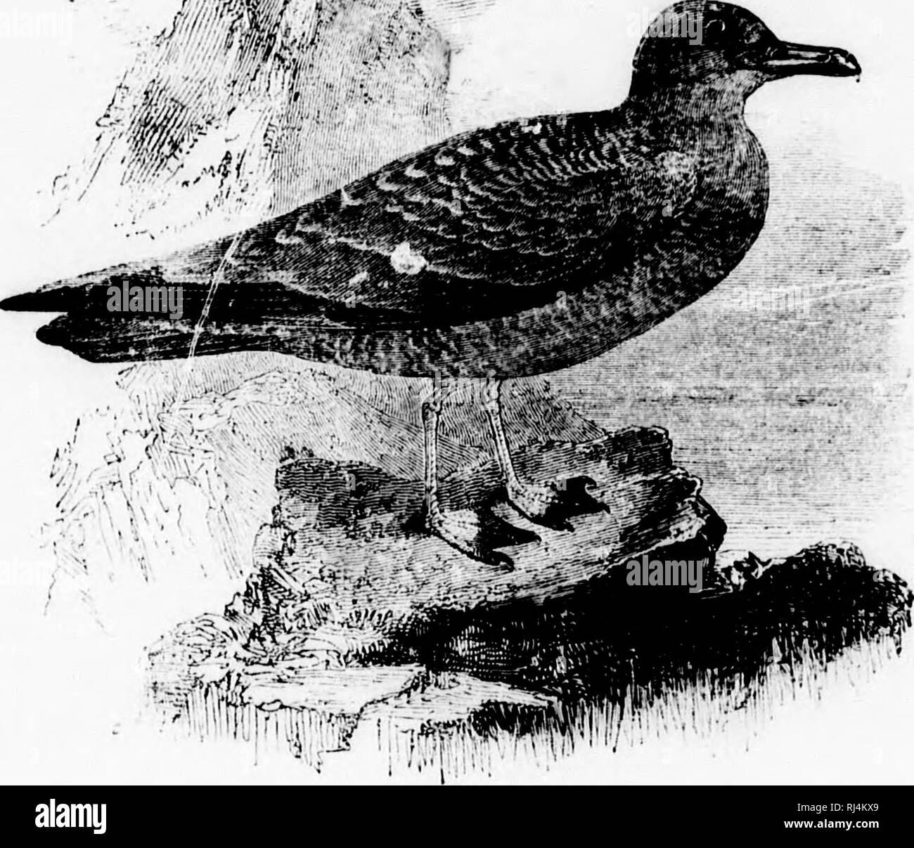 """. Un popular manual de la ornitología de los Estados Unidos y Canadá [microforma]: basado en el Nuttall es manual. Aves de agua; agua-aves; Ornitología; Oiseaux aquatiques; Oiseaux aquatiques; Ornithologie. oo como â¢P- m. ni ly 211 ^i>. POMARINM JAKCiKR. S'lKRCORARIUS POMARINUS. Chak. Fase de la luz: Toj) de cabeza y iiii]X'r piezas 'towii hollín o negruzcas; el cuello y bajo paits mientras, ese cuello teñida witli veilow, Fase oscura: enteramente h o la tundra, a veces en un rocI^.â.1 ;.ie.""""'^ liollow estampado en el musgo. E:^. -; Pai^ ^o estañado, oliva oscuro con russet y audacia markerl witV. :oÂ"""".u Foto de stock"""