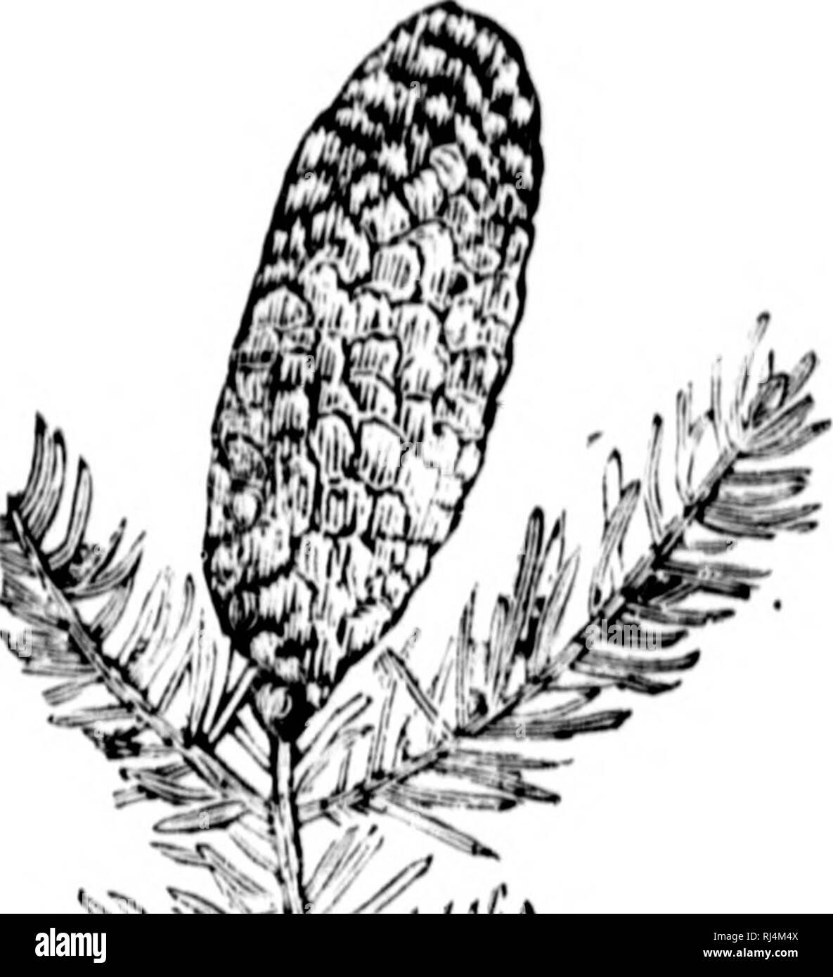 """. Guía illustré du sylviculteur canadien [microforme]. FÃ'rets -- Canadá; Forêts silviculturales et droit -- Canadá; los bosques y la silvicultura -- Canadá; Derecho y Legislación Forestal -- Canadá. 70 GUÍA'STnià IMX® nii teur hacer Â""""iiuinaiitt' (juinznvds sur""""* pouces dÂ""""Â""""liiimctro. Il vient ])i*'n de ^riiiiu', mais (â¢ellc-ci, ((IU Â""""'st loil -hm^, doit être t'bouillantét^ avant lo semifinales. Le )>io du diicot est-roug eà tre. fort, à IxNin grano, ce qui o l'ait Teclu'rciiei pour vía©benislerie. C'est bon arhre ONU à con-server et { ex- ploiter là où il se trouve, mais peu propre à la !Â"""", i). Foto de stock"""