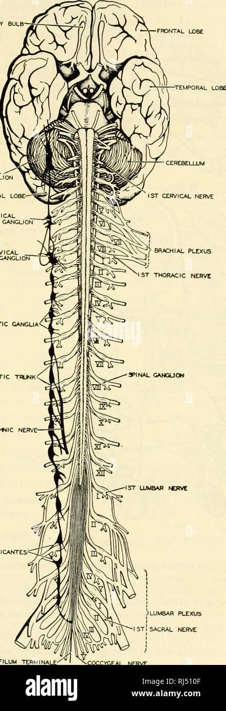 Nervio Coccigeo Fotos E Imagenes De Stock Alamy El filum terminale es un filamento en final de médula espinal, un filum terminale que cause excesiva tracción de la médula espinal, provoca chiari. https www alamy es los cordados chordata integradora de sistemas 177 sympatktic gangua rami communicantes simpatica splanotjic thjnk nervio plexo lumbar del nervio sacro nervio coccygeal fig 156 el cerebro y la medula espinal del hombre en el aspecto ventral mostrando las relaciones de los nervios espinales al jefe de los ganglios autonomicos se vuelve a dibujar de morris despues de allen thomson cortesia neal y rand anatomia chordate philadelphia la compania blakiston por favor tenga en cuenta que estas imagenes son extraidas de la pagina escaneada imagenes que podrian haber sido mejoradas digitalmente para mejorar la legibilidad la coloracion y el aspecto de estos malos image234909151 html