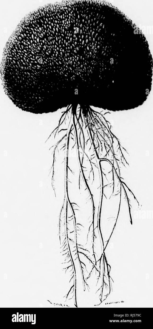 """. Circunnavegación del Asia y Europa viaje del Vega [microforma] : acompañado de una reseña historica de expediciones anteriores a lo largo de la costa norte del antiguo mundo. Vega (Barco); Vega (Navire); Historia natural; Sciences Naturelles. 1 •m Ed-fen:l., 7. CAi'lii i vil. 2""""7 I iris 11'//. j)En /li'.viio:i>l"""" ¡ (li)clur Kjcllmaii Li, alcalde de las plantas hiipcrhorea R. J>'r. IIal""""ia por lo tanlo eiiln! """"¿Ospocios lodas 3 do l;iinM'('>^Mnia'!. oiitre """"ellas ocho perlenpcioulc.-^ ;i la raiiiilia floriforas ])arPO(Mi inclinadas il adoptar anu lornia nudosa simuí csrérica os Foto de stock"""