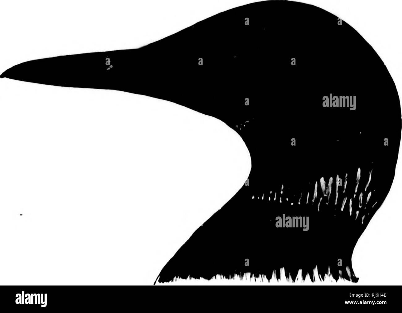 """. Las aves acuáticas de América del Norte [microforma]. Aves; aves; Agua; Oiseaux aquatiques Oiseaux. 446 - rVGOPODES UIUDS EL BUCEO. Urinator immer. La OBEAT NOBTHEBN DIVEB. Cobjmbus imbrr^ (irNN, Troiid. Srl-ik. Skr. I. ITtil, i. iii. Cihjmhun imiiur, Biii'-NN. Orii. IJor. 17tU, 34 (joiiii}'). - Linn. S. N. p(1. 12, I. 1700, 222. I.'rimitor immcr, SlIviN. I'r. V. S. Nat. Mils. Vol 5, 1882, 43. t'ohimhuntKrqutilus, Hui'sN. Orii. lloi-. 17(i4, 41. - L.vwii. En Hiiird'.s B. N. Am. 1858, 888. - IUird, Cat. N. Am. IJ. ]85!t, uu. 0U8. - Cori;s, I'r. Ac. Nat. .S""""i. I'liilatl. 18(J2, 227 ; la llave, 1 Foto de stock"""