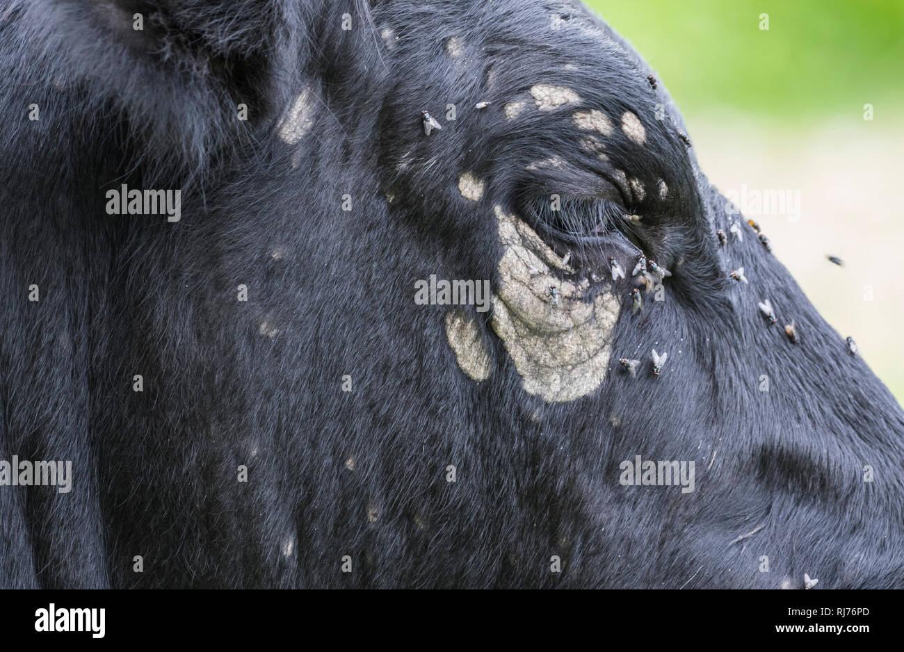 Vuela sobre y alrededor de los ojos de una vaca, negro con manchas blancas y decoloración alrededor de los ojos. Foto de stock