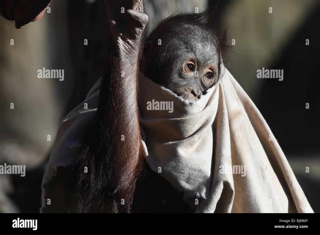 La hembra Borneo orangutan 'Sabah' visto que cubre su cabeza y su cuerpo con una sábana en un soleado día de invierno en el zoológico de Madrid, donde alcanza temperaturas de hasta 17ºC grados durante las horas de la tarde. Imagen De Stock