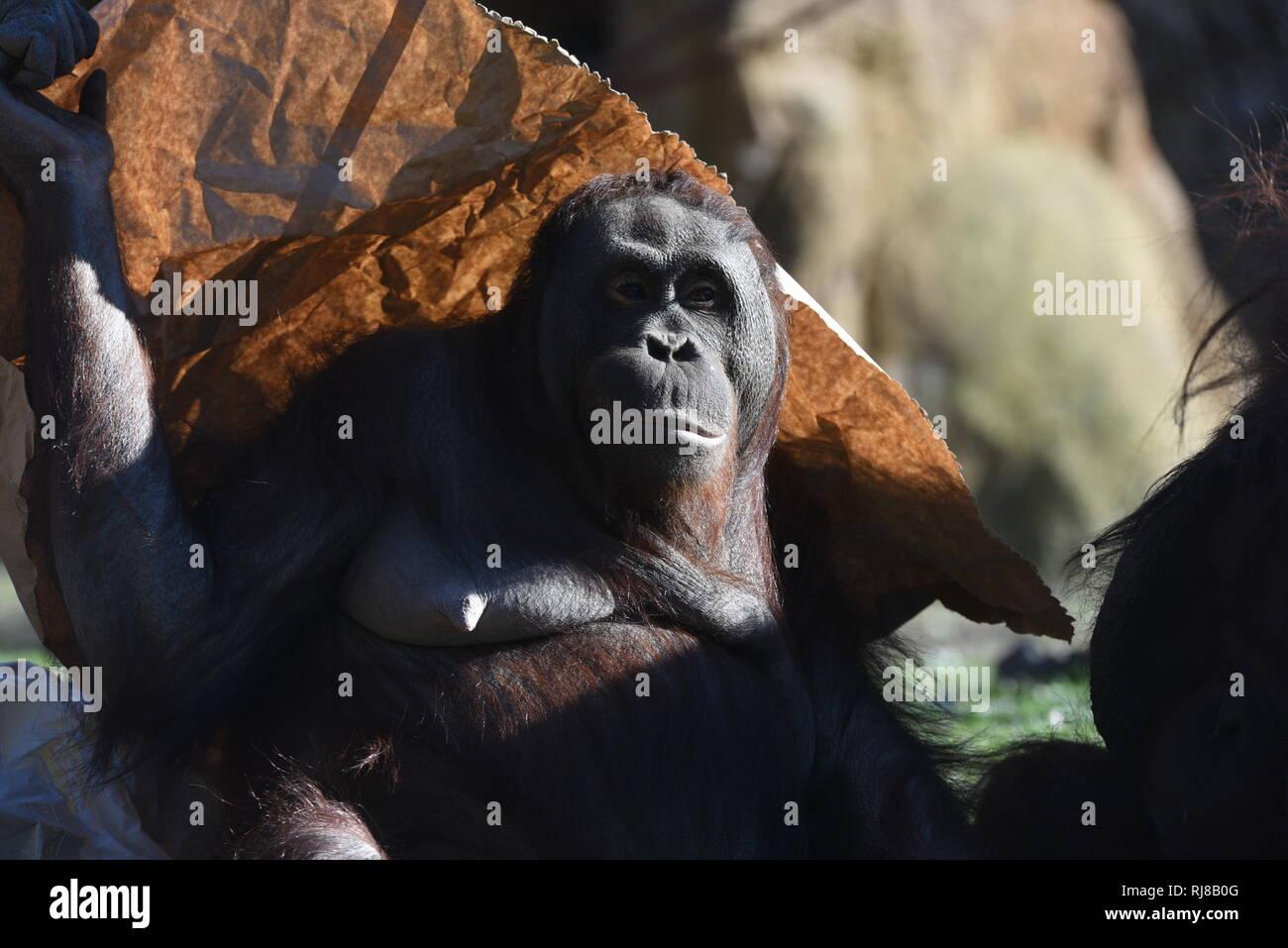 La hembra Borneo orangutan 'Surya' visto que cubre su cabeza con un papel en un soleado día de invierno en el zoológico de Madrid, donde alcanza temperaturas de hasta 17ºC grados durante las horas de la tarde. Imagen De Stock