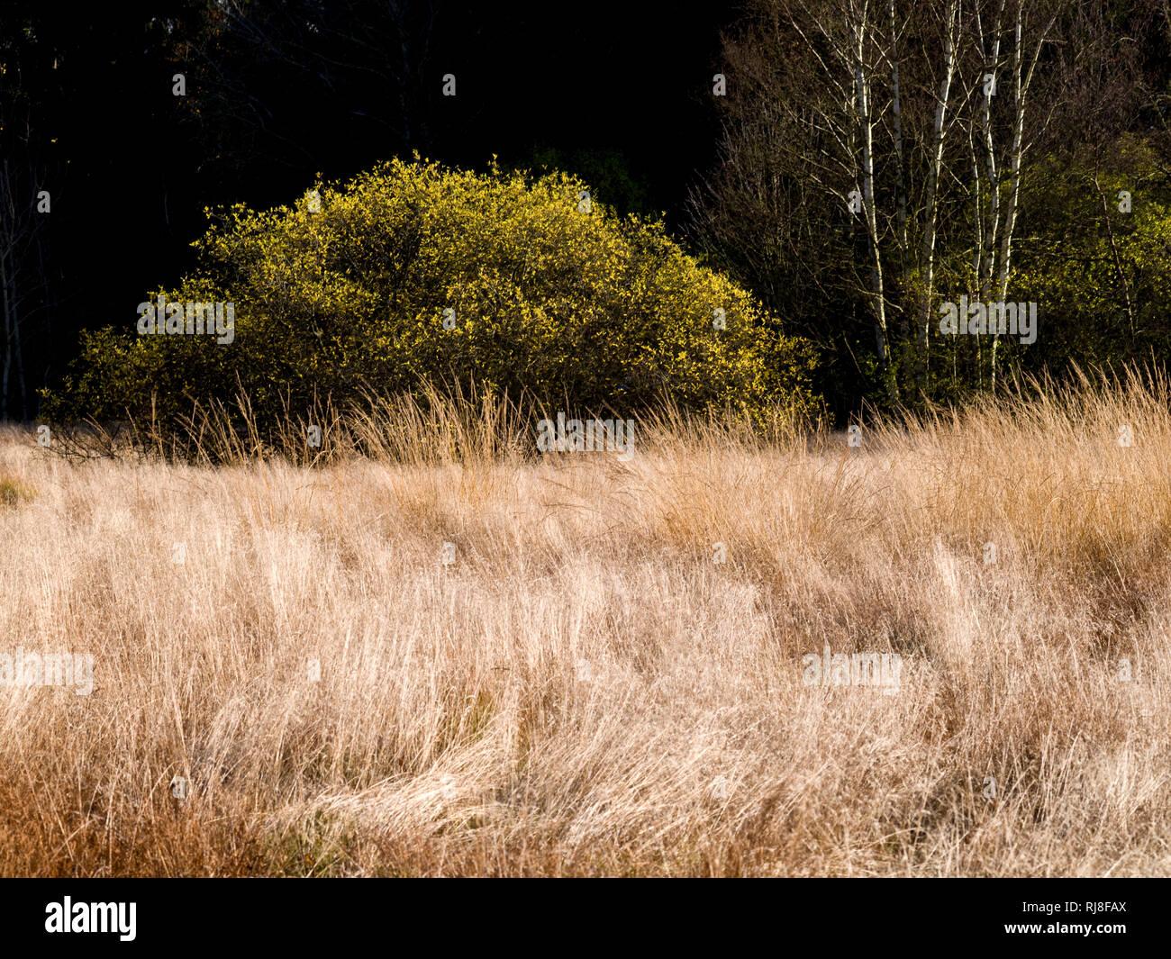 Deutschland, Bayern, Naturpark Bayrische Rhön, UNESCO-Biosphärenreservat, Naturschutzgebiet Schwarzes Moor, windgeformte Moorgräser, Birken und Salwei Foto de stock