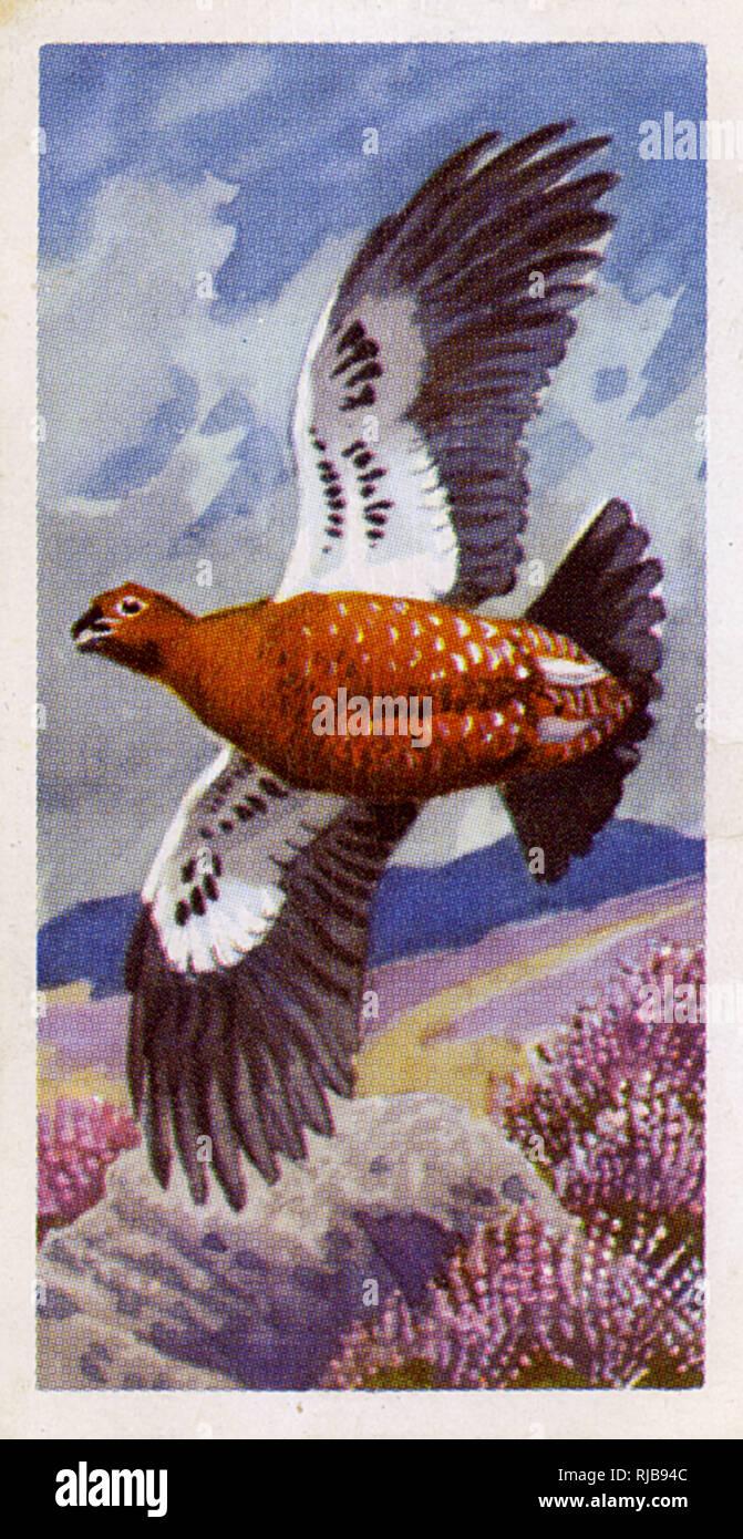 El urogallo rojo en vuelo. Foto de stock