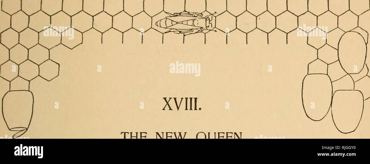 . La población de abejas. Las abejas. La nueva reina. Mientras tanto, no está todo el tiempo justo en el casco antiguo de la colmena. La nueva reina, aunque sólo fuera de su celda, entiende su negocio perfectamente, y es capaz de hacerlo, pero hay complicaciones. La suya no fue la única reina celda en dicha sección. Hubo otros, y ahora, como ella ha ascendido al trono con la antigua reina pacíficamente fuera del camino, el suc- cesión se realiza sin oppo- sición, hete aquí! Ella escucha un sonido, - un sonido que probablemente envía la sangre a su corazón, y le causa muy dedos a tingle. El sonido que escucha es Imagen De Stock