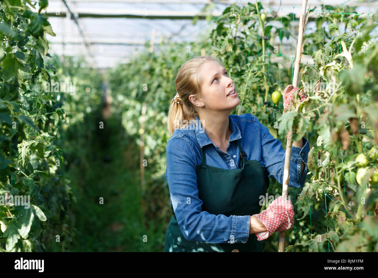 Jardinero femeninos positivos trabajando en invernadero, inspeccionando los tomates verdes Foto de stock