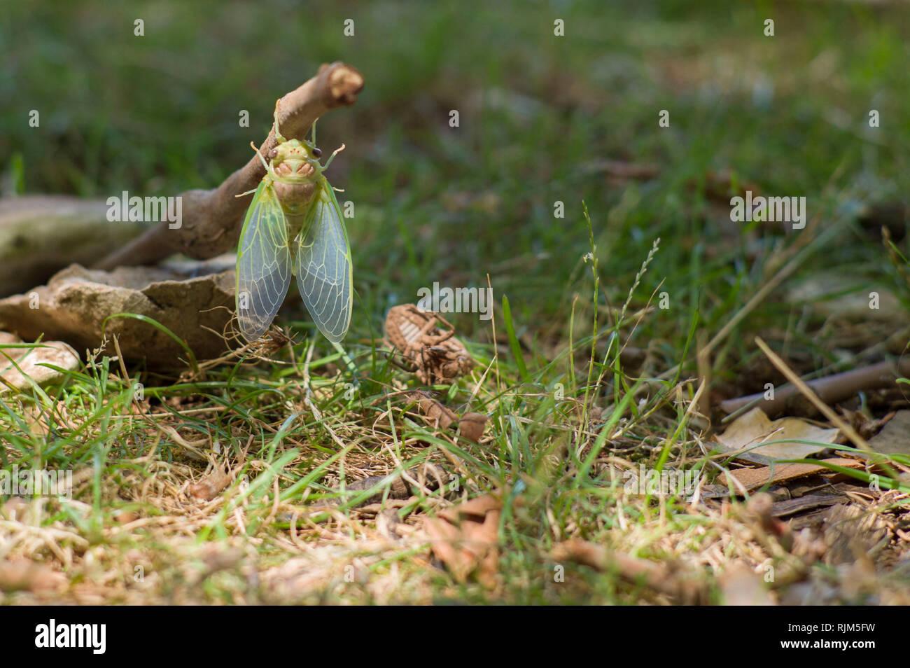 ( Cidada Cicada orni ) surgiendo en verano en la isla de Cres Croacia Foto de stock