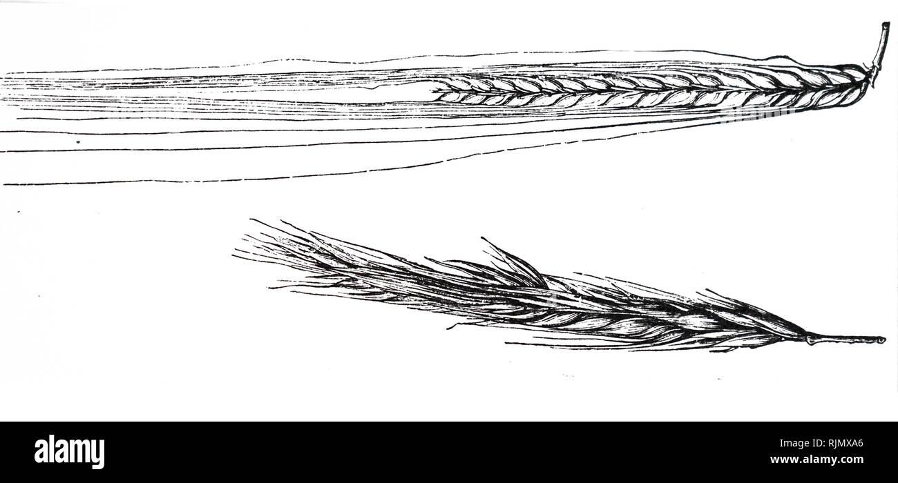 Un grabado representando una espiga de cebada. Grabado publicado en París 1883 Imagen De Stock