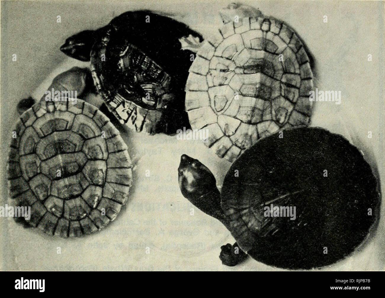 . El zoólogo australiano. Zoología; Zoología; Zoología. Los efectos del medio ambiente sobre la pigmentación de la tortuga. Fig. 1. Los jóvenes Emydura krefftii Criado durante seis meses en un contenedor de pisos de color blanco (Nos. I y 3 de la izquierda) y un negro pisos contenedor (Nos. 2 y 4). Asumir la coloración críptica coherente con un determinado sustrato tiene ventajas evidentes para las tortugas, aumentando la probabilidad de que un individuo evitando la depredación y permitir una explotación efectiva de una amplia gama de hábitat por la especie. En vista de su valor de supervivencia, por lo que no es sorprendente encontrar que la pigmentación de juven Foto de stock