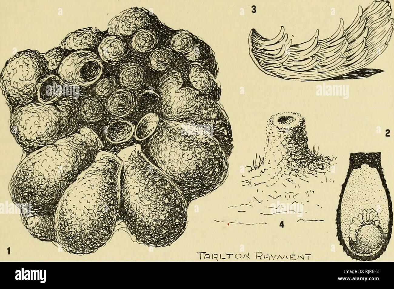 """. El zoólogo australiano. Zoología; Zoología; Zoología. RAYMENT 147. Fig. 4: Detalles de Halictus cyclurus y leai Cockerell. 1. Un grupo de pequeñas células de barro de Halictus cyclurus Ckll. 2. Una sección de la celda que muestra una larva alimentándose de polen del almacén. 3. El viejo polen-mat de H. leai Ckll. se descompone en un número de hojuelas salival, y revela el método de construcción. 4. La pequeña chimenea-stack a la entrada del eje. de los granos de polen, y unos ocho a diez días, se gastan en consumir el """"pudding"""". El exterior suave que contenga más néctar no es consumido fir Foto de stock"""