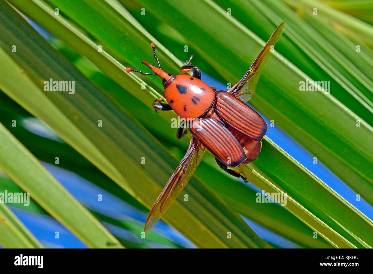 Picudo Rojo de las palmeras (Rhynchophorus ferrugineus) en la isla canaria de la palma datilera (Phoenix canariensis), verano 2018, Cataluña, España. Dañino, larvas de da Foto de stock