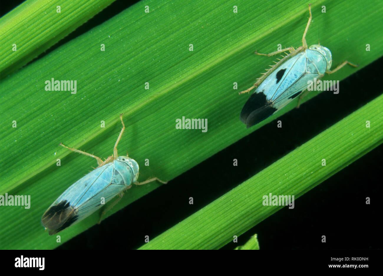 Variación de color azul de una cáscara verde saltarilla, Nephotettix virescens, un biotipo de esta especies plaga Imagen De Stock